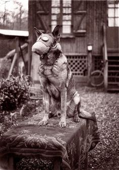 Dog with gas mask, 1917.