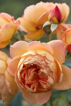 'The Lady of Shalott' roses