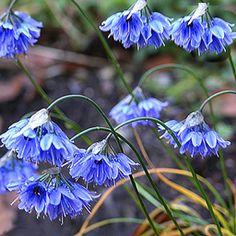 OMG... I need this. Allium beesianum