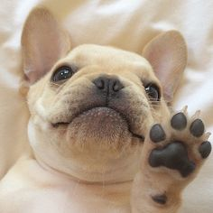 Cuuuute!! French Bulldog Puppy