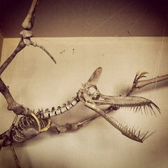 About 68 million years ago during the late Cretaceous period, a pterosaur flew through the skies. Known as Eurazhdarcho langendorfensis, t. Dinosaur Skeleton, Dinosaur Bones, Dinosaur Fossils, Prehistoric Dinosaurs, Prehistoric Creatures, Reptiles, Mammals, Amber Fossils, Extinct Animals