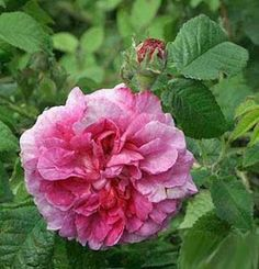 Gallica Rose: Rosa 'Robert le Diable' (unknown origin, before 1837)
