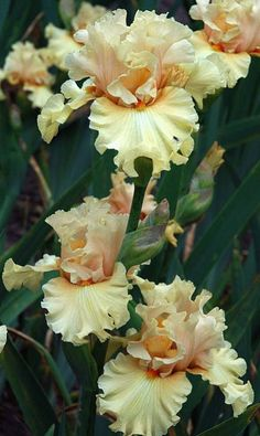 Tall Bearded Iris called- Comes The Dawn/Flores 🖤 Iris Flowers, Types Of Flowers, Planting Flowers, Iris Garden, Garden Plants, Amazing Flowers, Beautiful Flowers, Bearded Iris, Plantation