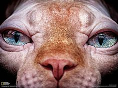 Sphynx, hairless cat, cat photography                              …