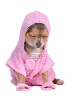 Relaxed Chihuahua Puppy After The Bath