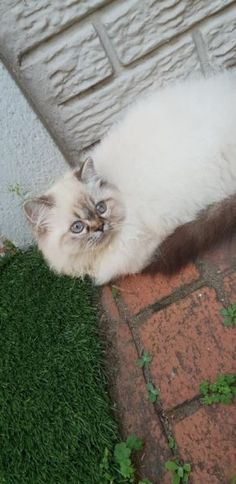 Find Cats & Kittens in Greyville! Search Gumtree Free Classified Ads for Cats & Kittens and more in Greyville. Persian Kittens, Cats And Kittens, Kitten For Sale, Cat Breeds, South Africa, Adoption, Female, Animals, Cat Races