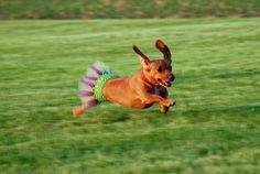 {doxie running in a tutu}
