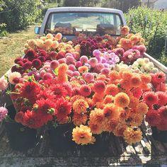Dahlia harvest for the Seasonal Flower Intensive workshop at Floret Flower Farm. #growfloret