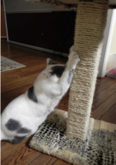 Tired of your feline friend ruining your furniture? Remedy the situation by building your own scratching post like this one! Crazy Cat Lady, Crazy Cats, Diy Cat Scratching Post, Baby Animals, Cute Animals, Diy Furniture Decor, Diy Cat Toys, Puppies And Kitties, Lovely Creatures