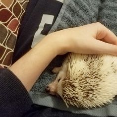 Our 10 month old hedgehog, Theo.