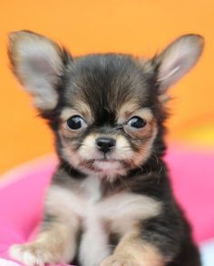 Absolutely Adorable #chihuahua Puppies Photos   herinterest.com/