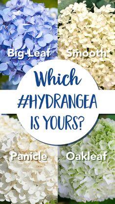 Pruning Hydrangeas, Types Of Hydrangeas, Planting Flowers, Caring For Hydrangeas, When To Plant Hydrangeas, Hydrangea Landscaping, Landscaping Edging, Hydrangea Paniculata, Garden Care