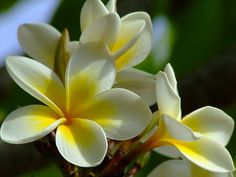The frangipani flower- the most beautifully aromatic and simple flower Simple Flowers, Tropical Paradise, Island, My Favorite Things, Plants, Dreams, Education, Book, Healthy
