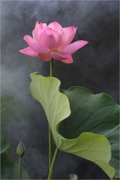 Lotus | Flickr - Photo Sharing!