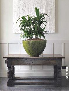 """I love this giant plant in it's giant pot. Dracaena fragrans """"Janet Craig"""""""