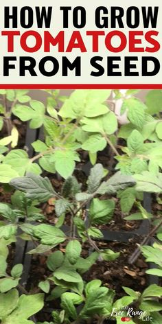 How to Grow Tomatoes from Seed in Your Garden! Tomatoes are a great crop to grow in the vegetable garden, even for beginning gardeners. Learn how to grow tomatoes from seed so you can harvest tons of Container Vegetables, Planting Vegetables, Container Plants, Planting Seeds, Growing Vegetables, Container Gardening, Veggies, Gardening For Beginners, Gardening Tips