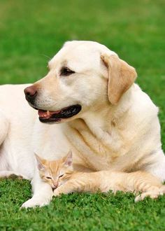 Yellow Lab with kitten pal