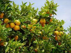 Die robuste Pomeranze ist eine tolle, etwas unterschätzte Zitruspflanze. Sie trägt viele orangefarbene Früchte, blüht sehr schön und hat dichtes Laub.