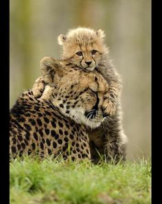 cheetah  baby | Baby Cheetah Hugging His Mom? Yes, Please