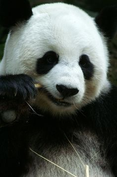 Panda Bear: Chiang Mai Zoo
