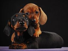 Adorable Dachshund Puppies Pictures