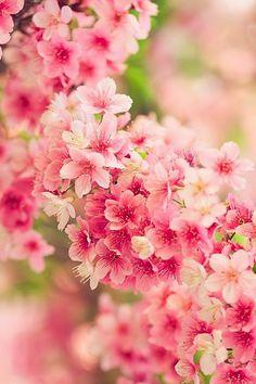 Japanese cherry blossoms, Sakura