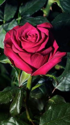 68 Mejores Imágenes De Lindas Rosas En 2019 Rosas Flores