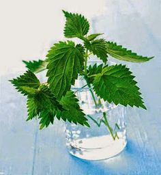 Nettles in a glass – License high-quality food images for your projects – Rights managed and royalty free – 337261 Simple Minds, Glass Vase, Plant Leaves, Remedies, Herbs, Plants, Painting, Home Decor, Health