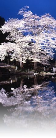 """Nawashiro Zakura"" Cherry-blossom, Gero, Gifu, Japan"