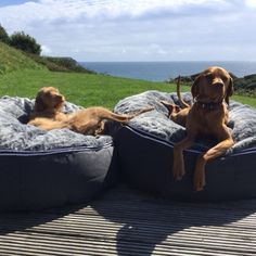 Posh pets living the dream in Cornwall England on our luxury pet beds .. Lucky dogs!
