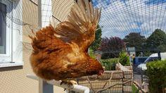 Angela das Huhn  (7.16)