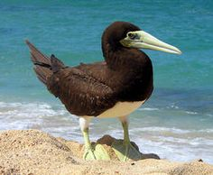 Brown Booby - Wikipedia, the free encyclopedia