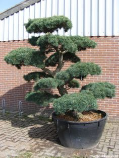 Pinus parviflora bonsai