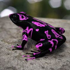 Purple Atelopus Frog ~ Atelopus is a large genus of true toads, commonly known as harlequin toads or. Les Reptiles, Cute Reptiles, Reptiles And Amphibians, Cute Creatures, Beautiful Creatures, Animals Beautiful, Cute Animals, Funny Frogs, Cute Frogs