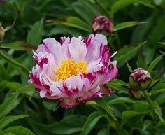 Peonies - Pink Luau