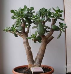 crassula ovata bonsa african bonsai baobab pinterest plantes grasses cactus et plantes. Black Bedroom Furniture Sets. Home Design Ideas