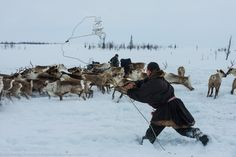 A man catches a deer on the lasso. Arctic, Reindeer, Camel, Russia, People, Animals, Animales, Animaux, Camels