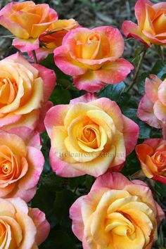 1000 Images About Bi Color Two Toned Roses On Pinterest