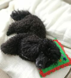 It's time to take a nap! Sulo_thetoypoodle