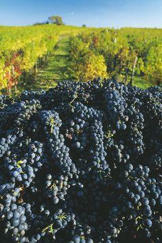 Vineyard in Burgenland, Austria