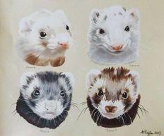 Ferret drawings