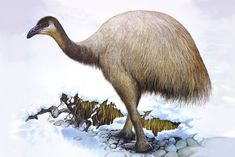 The Upland Moa (Megalapteryx didinus) was a species of Moa bird endemic to New Zealand. It was a member of the ratite family, a type of flightless bird with no keel on the sternum. It was the last moa species to become extinct, vanishing around 1500 AD. Prehistoric Wildlife, Prehistoric Creatures, Wildlife Art, Extinct Birds, Extinct Animals, Evolutionary Biology, Flightless Bird, Bird Prints, New Zealand