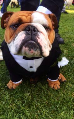 English Bulldog Wearing a Tuxedo