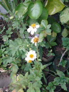 Sara said plantas e cactos  -  flor da Camomila