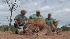 Are lion hunters in South Africa shooting tame animals? - BBC News