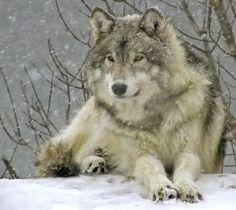 majestic wolf