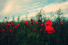 Poppies field
