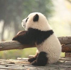Trendy baby animals panda so cute Ideas Funny Panda Pictures, Panda Funny, Animal Pictures, Cute Baby Animals, Funny Animals, Wild Animals, Animals Kissing, Cutest Animals, Zoo Animals