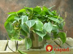 Philodendron cordatum 12 houseplants that can survive even the darkest corner Easy Plants To Grow, Growing Plants Indoors, Cool Plants, Indoor Climbing Plants, Best Indoor Plants, Plantas Indoor, Decoration Plante, Low Light Plants, Inside Plants