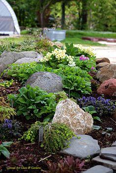 Rockery primula and epimediums in spring